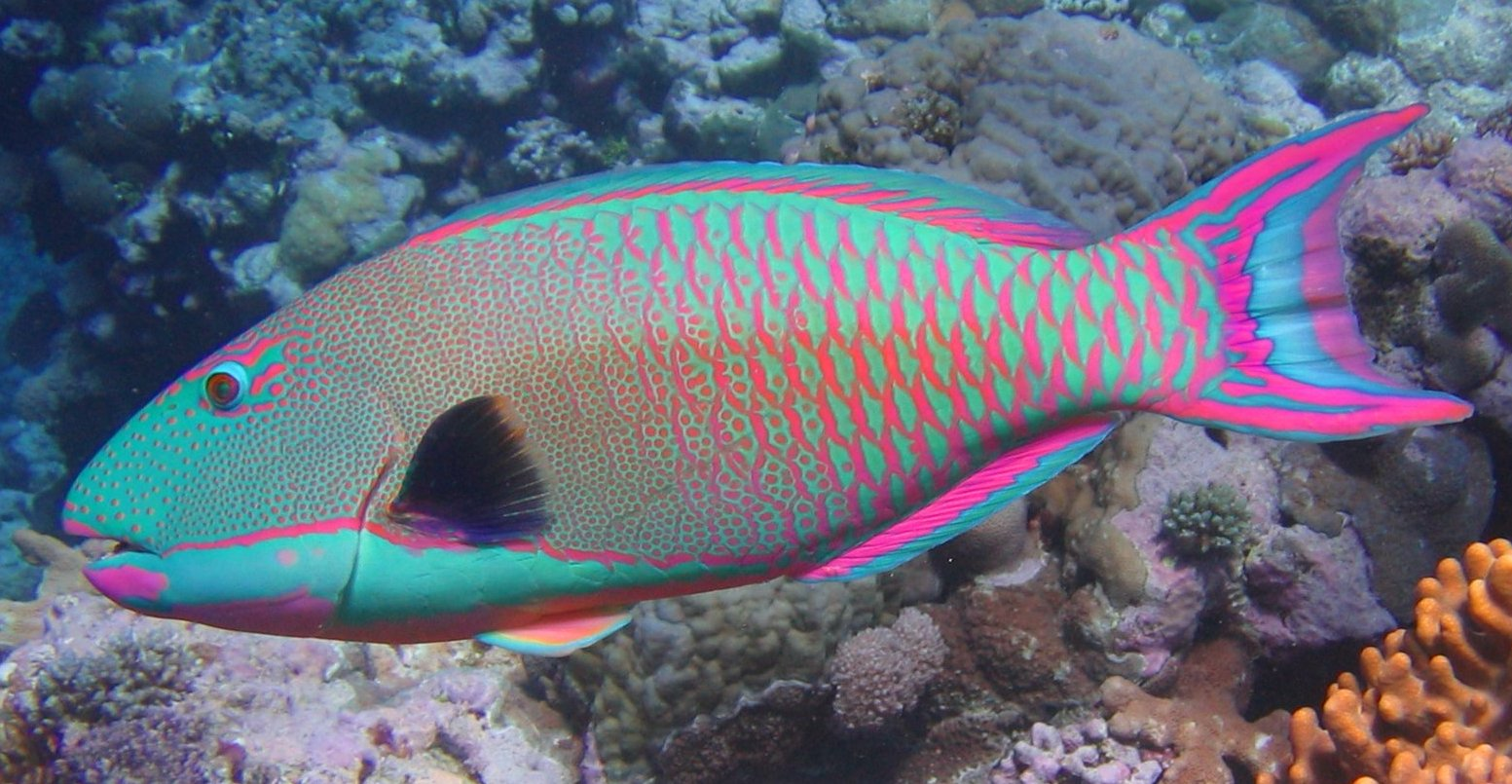 https://i0.wp.com/www.aquariaveldhuis.nl/domeinen/aquariaveldhuis/www/products_pictures/thumbnail/Bicolor_parrotfish[1].jpg